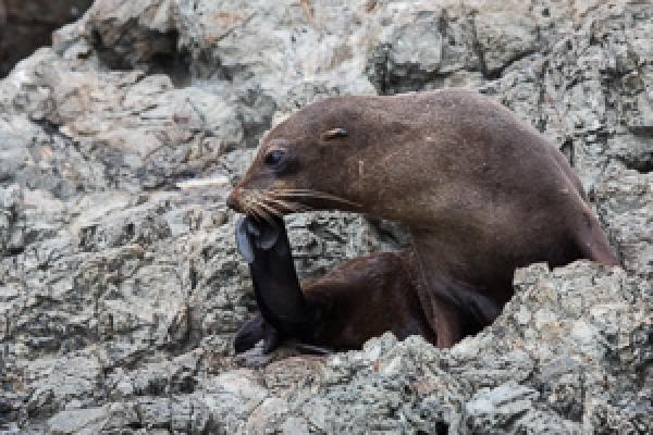 NZ Fur Seal - Alfred Schulte - Inala Nature Tours