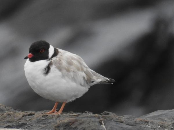 Inala Nature Tours - Cat Davidson - Hooded Plover
