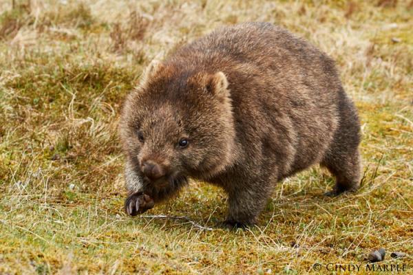 Common Wombat - Cindy Marple - Inala Nature Tours