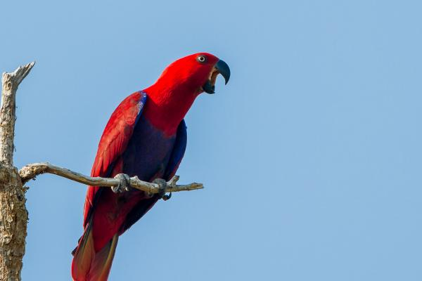 Eclectus Parrot - Photograph by Alfred Schulte - Inala Nature Tours