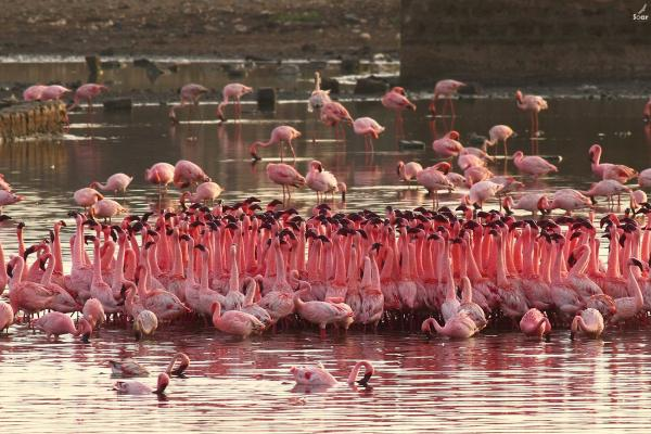 Flamingo's - Soar - Inala Nature Tours