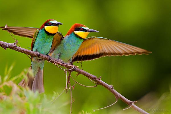 European Bee-eater D.Petrescu - Inala Nature Tours